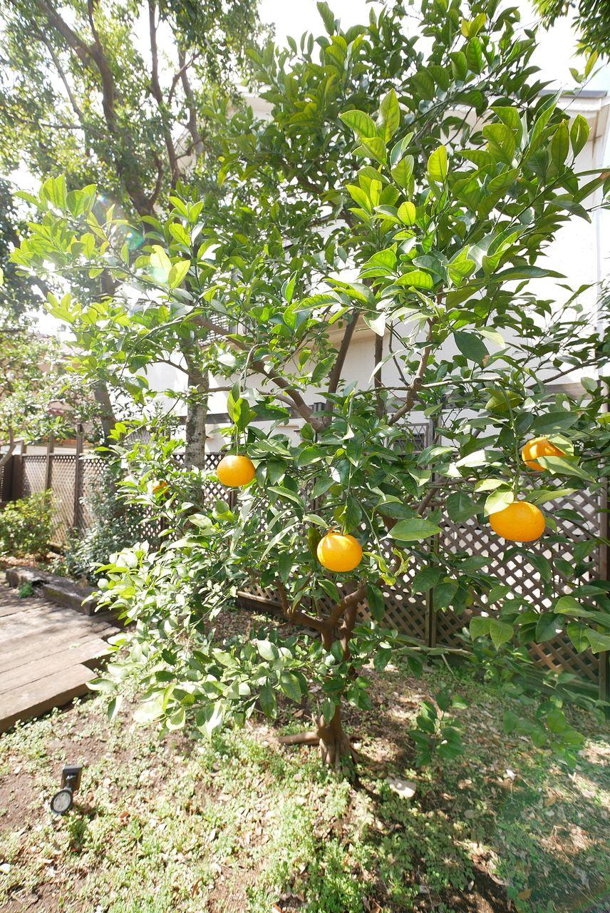 ミカンの木もあります!オレンジ色が鮮やかですね♪